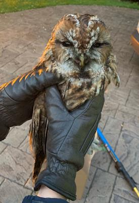 Owl after it was rescued