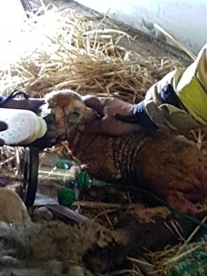 A lamb after it had been given oxygen therapy.