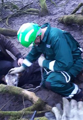 Calf rescued from a bog in Henbury