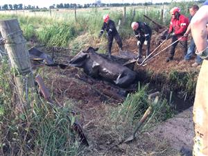 Firefighters attempting to rescue cows stuck in a ditch
