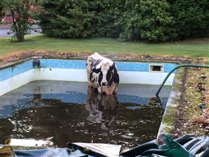 The cow stuck in the swimming pool